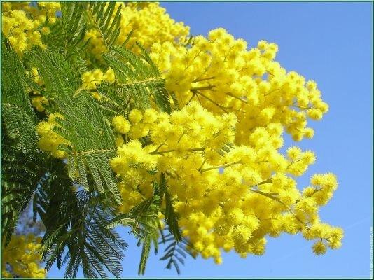 мимоза цветение абхазия Знакомство с Абхазией